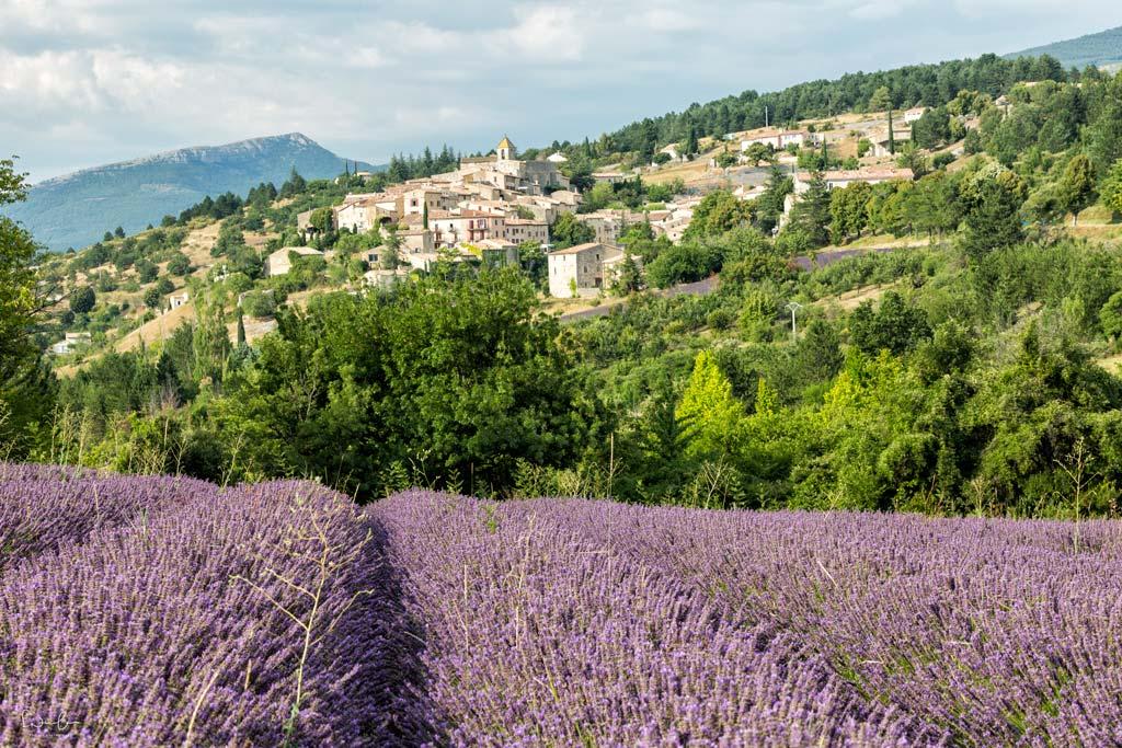 lavender season Provence