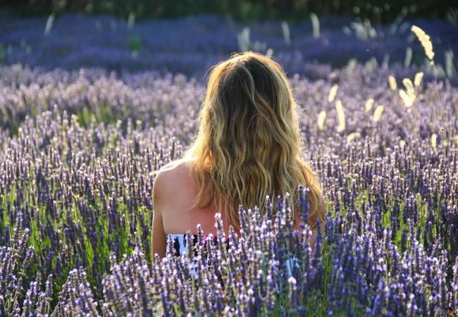Provence lavender season