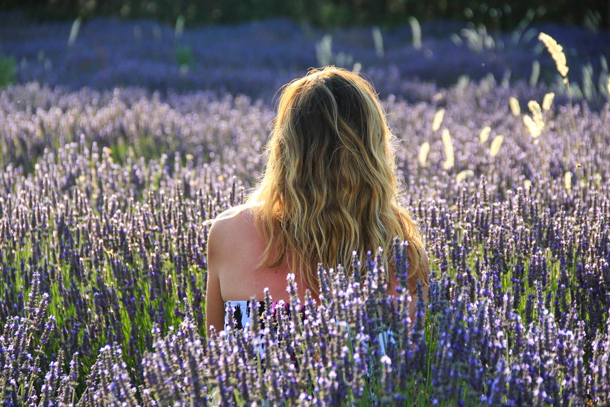 Lavendelblüte in der Provence – alles, was du wissen musst