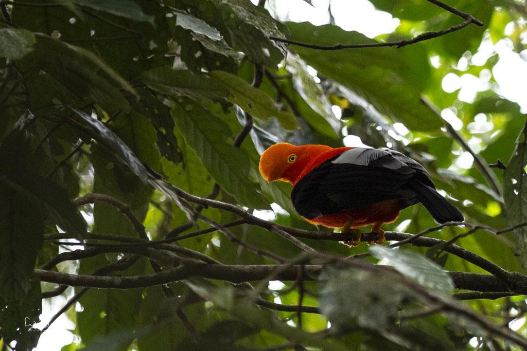 Andean Cliff Bird