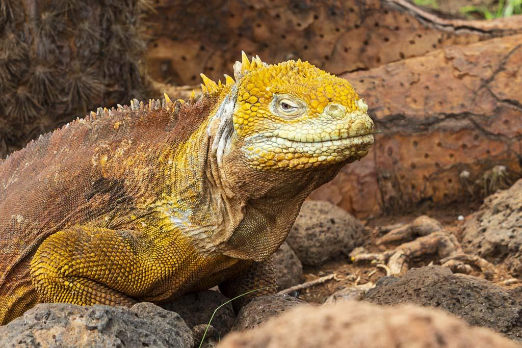 Galapagos land iguana-2